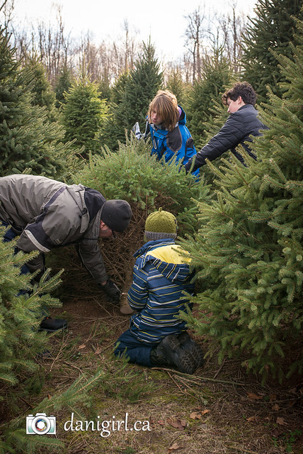 Christmas tree picking 2016-4
