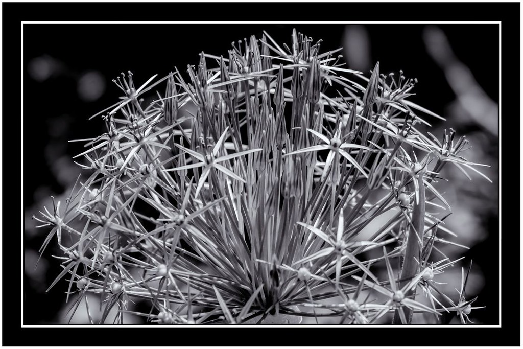 Barbed wire flower laurence saideman flickr