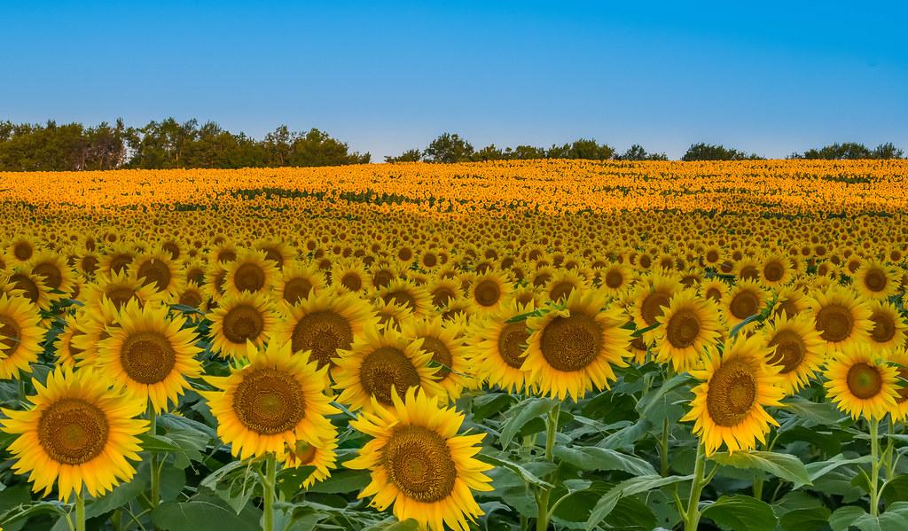 Sunflower Fields Forever | Field of sunflowers in Kansas ...