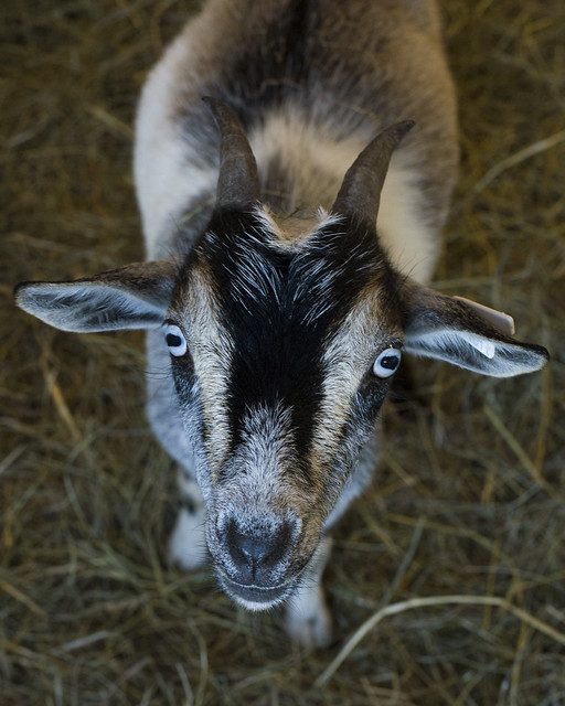 Rutland the Goat