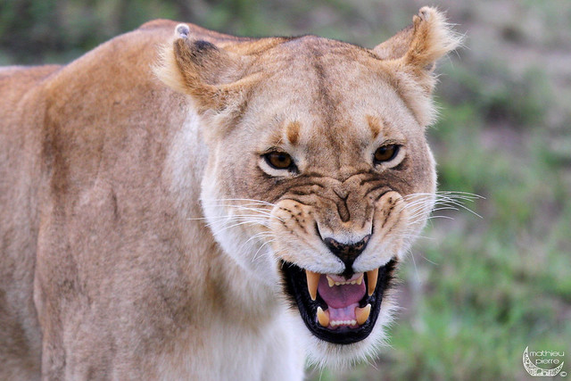 Angry Lioness | Flickr - Photo Sharing!