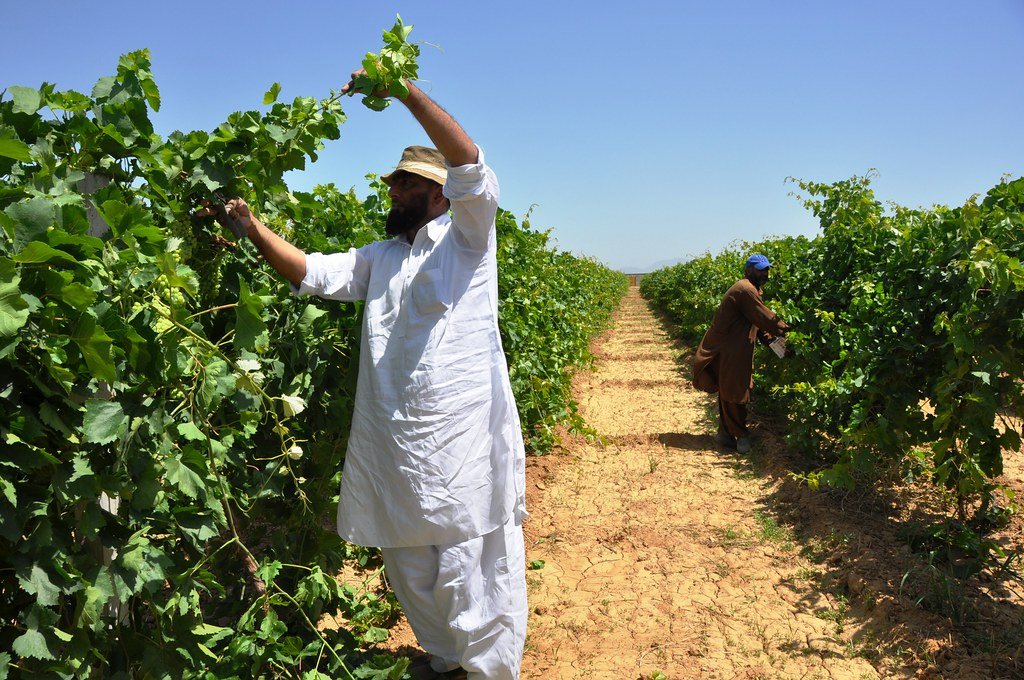 Muhammad Azam Khan While Cutting Grapes From His Farm Flickr