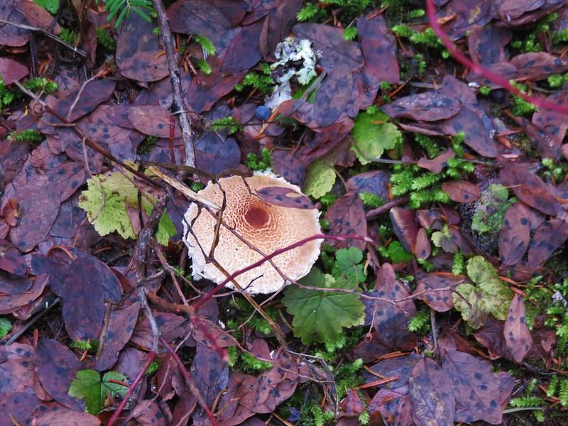 Another mushroom