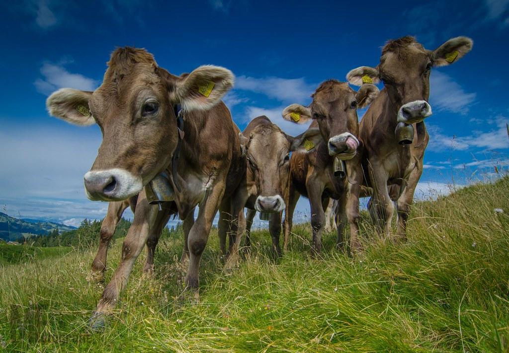Braunvieh-Rinder auf der Alpe Obere Denneberg, Allgäu   Flickr