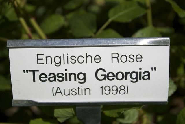 englische rose teasing georgia austin 1998 flickr photo sharing. Black Bedroom Furniture Sets. Home Design Ideas