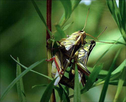 Grasshopper Romance - Grashüpfer-Romanze - Romance de saltamontes --- Part I