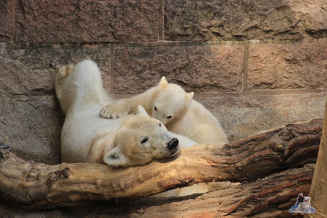 Eisbär Fiete im Zoo Rostock 14.06.2015  199
