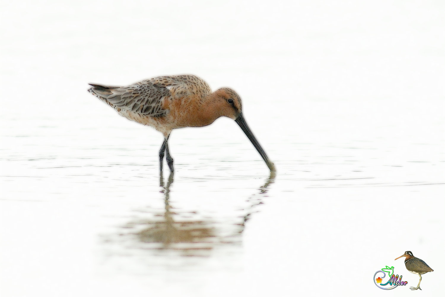 Asian_Dowitcher_6357