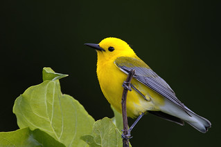 A prothonotary warbler against the shadows of the forest... | by A wing and a prayer...