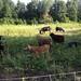 Goats! Sheeps! Ass!