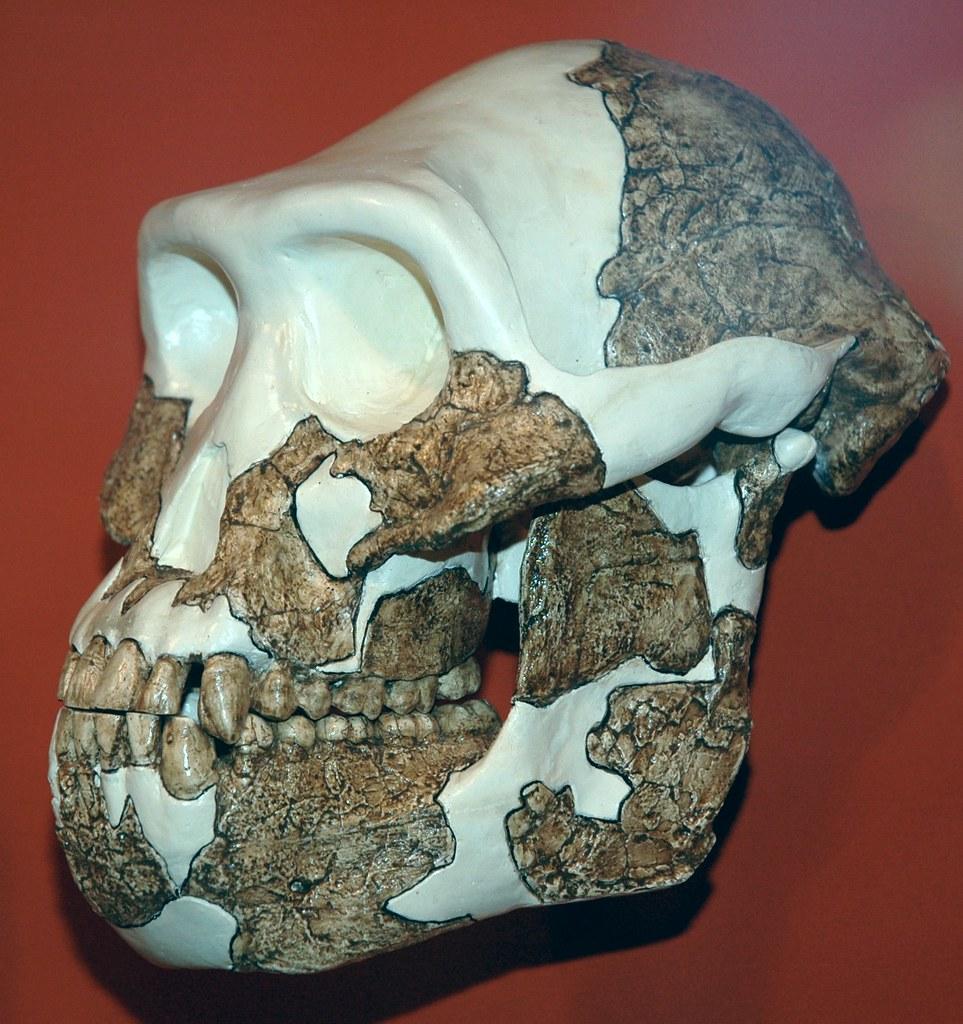 Australopithecus Afarensis Fossil Hominid Pliocene Easte