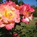 Rose du Parc Borely