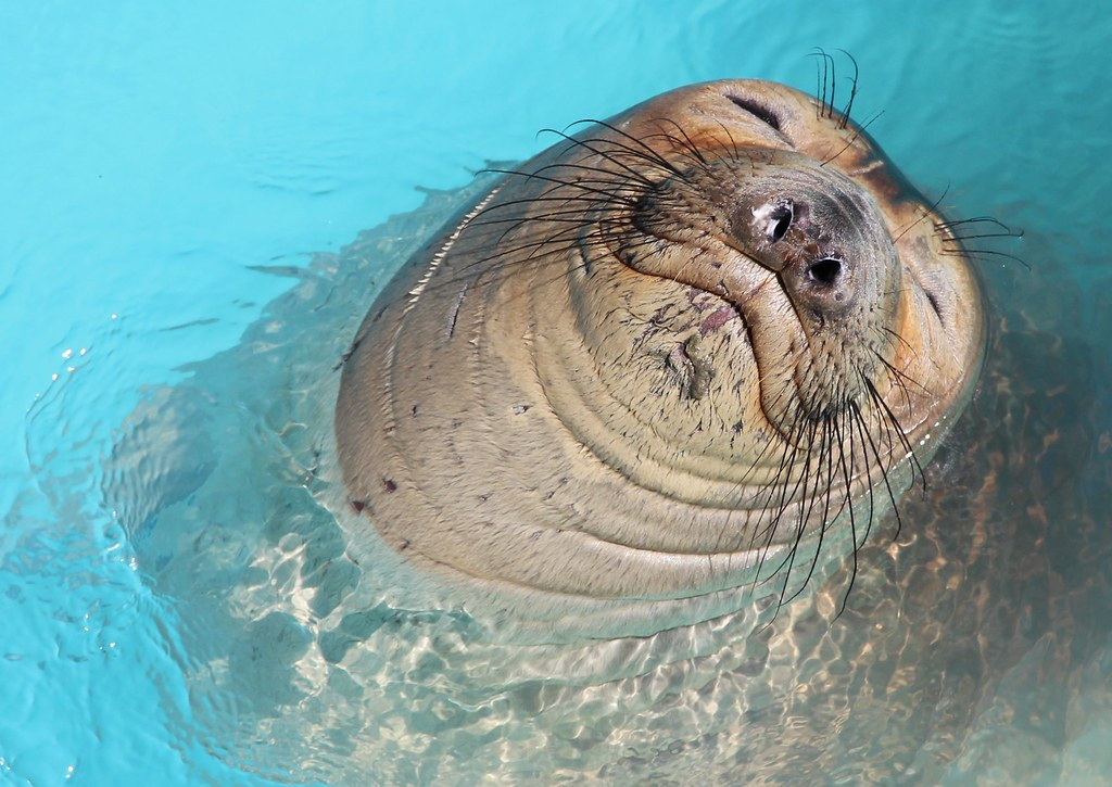 Elephant seal | Pacific Marine Mammal Center, Laguna Beach ...