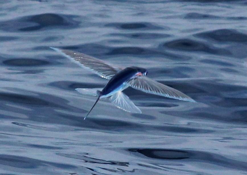 flying fish by cacodaemonia - photo #15
