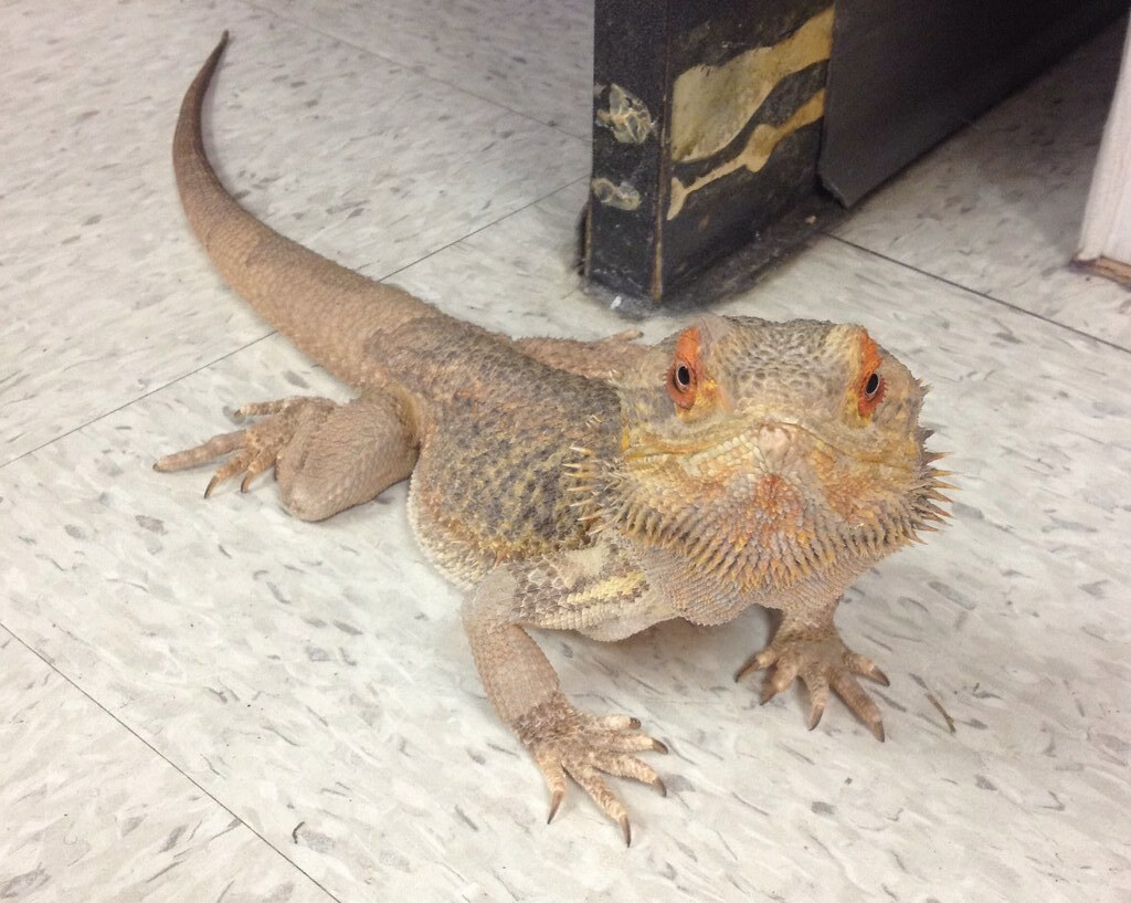 Bearded Dragon Live Food Diet