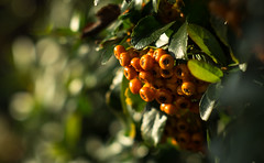 Pyracantha in morning sun with Jupiter 9
