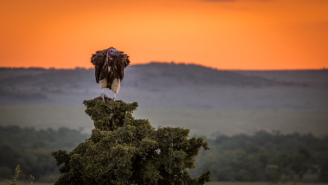 Photo of Vulture in Africa