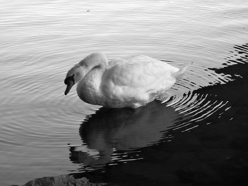 Swan on the River Aare
