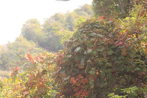 ヤマブドウ紅葉