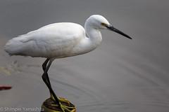 ダイサギ Great egret