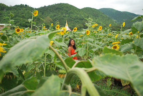 Sunflower Myanmar