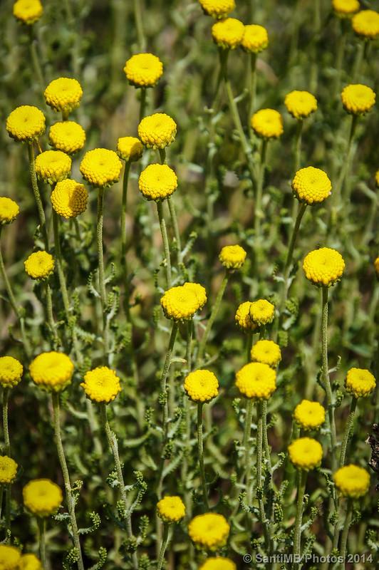 Las flores desconocidas que huelen a aliño de aceitunas