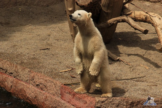 Eisbär Fiete im Zoo Rostock 14.06.2015  133