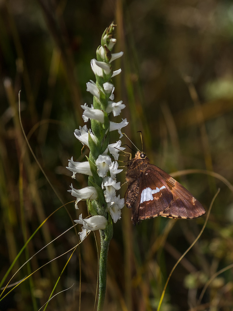Nodding Ladies'-tresses orchid with Silver-spotted Skipper