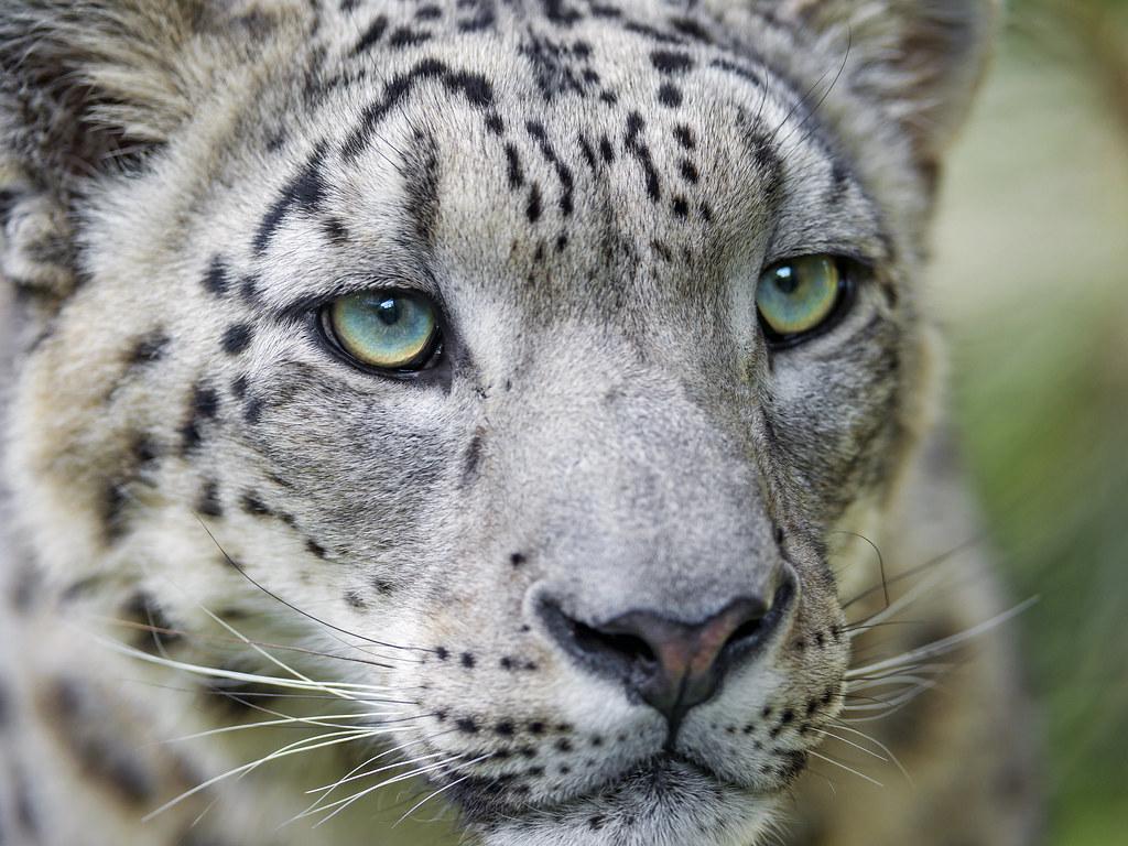 Pictures of Jaguars, Jaguar Facts
