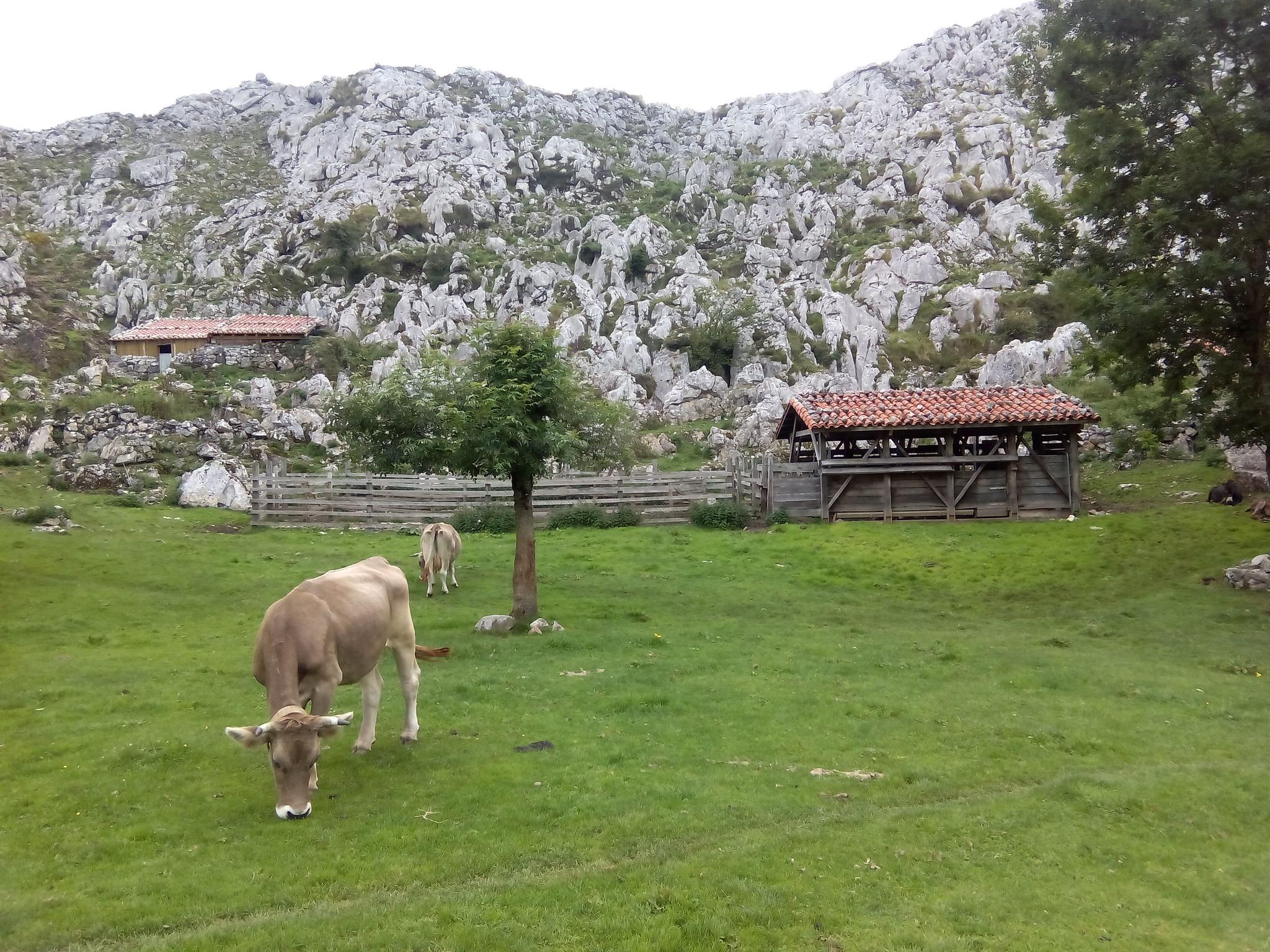 Paisaje Ganadero en Picos de Europa, vega de pastos con cabañas ganaderas detrás y vacas de razas autóctonas