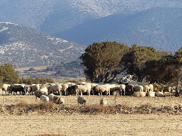 encore des moutons