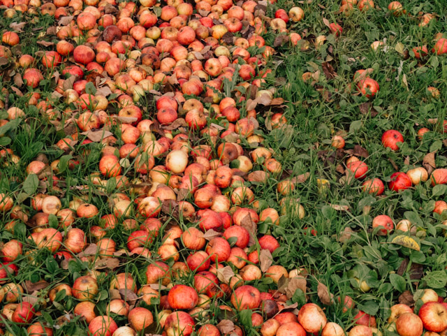 fallen apples in westons orchard