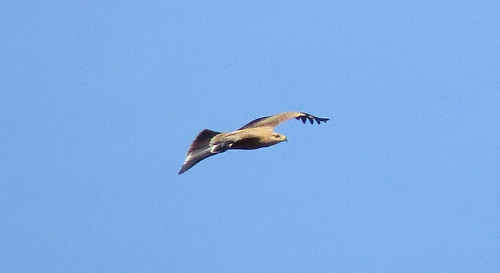 Spanish Imperial Eagle Aquila adalberti Barao San Joao, Algarve October 2016
