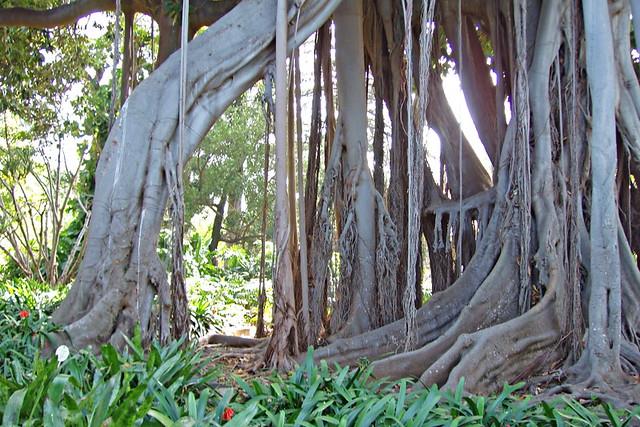 Green Tenerife - Banyan