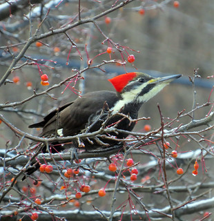 a photograph of a pileated woodpecker in a crabapple tree