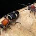 Velvet ant-mimicking corinnid spider (Graptartia granulosa) and model (Pristomutilla sp.)