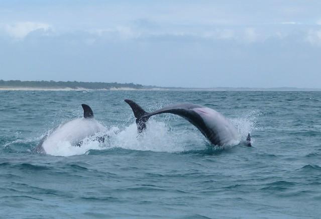 Delfines saltando en el río Sado (Alentejo)