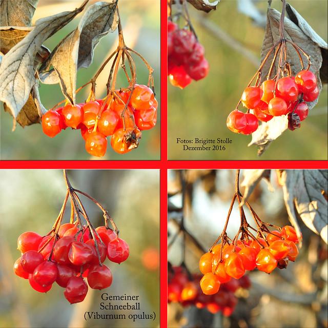 Gewöhnlicher Schneeball (Viburnum opulus) ... Rote Steinfrüchte im Dezember ... Vogelfutter ... Baum- und Strauchlehrpfad Plankstadt bei Heidelberg - Fotos: Brigitte Stolle 2016