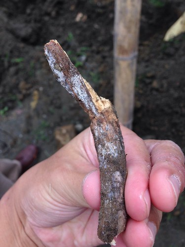 雖然看起來還有些枝葉,但其實根部已經腐爛,松菸志工提供
