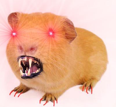 """Képtalálat a következőre: """"guinea pig"""""""
