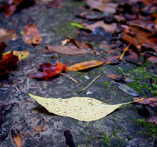 Rain drops on a fallen-leaf.