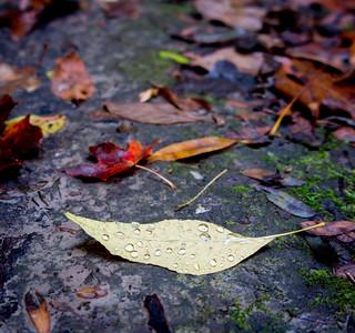 Rain drops on a fallen-leaf.