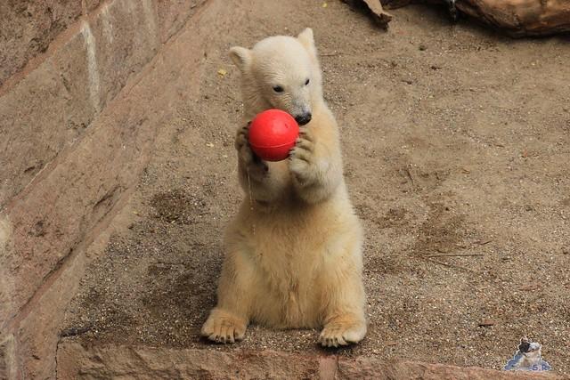 Eisbär Fiete im Zoo Rostock 14.06.2015  179