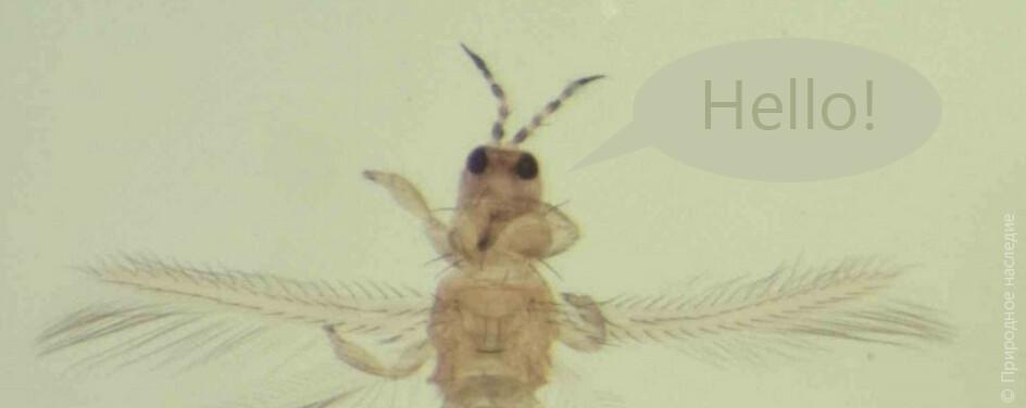 Сбор трипсов Thysanoptera на верховом болоте Целау