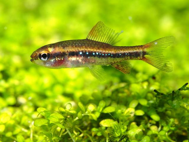 PA034721 珍珠燈魚