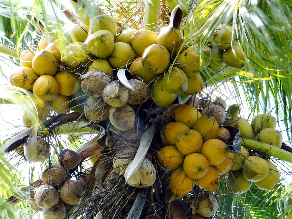 coconut palm  8  fiji dwarf  niu leka   1