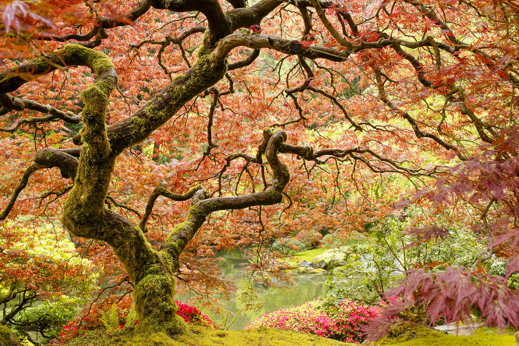 Japanese maple tree moss covered twisted branches of a for Maple trees for small gardens