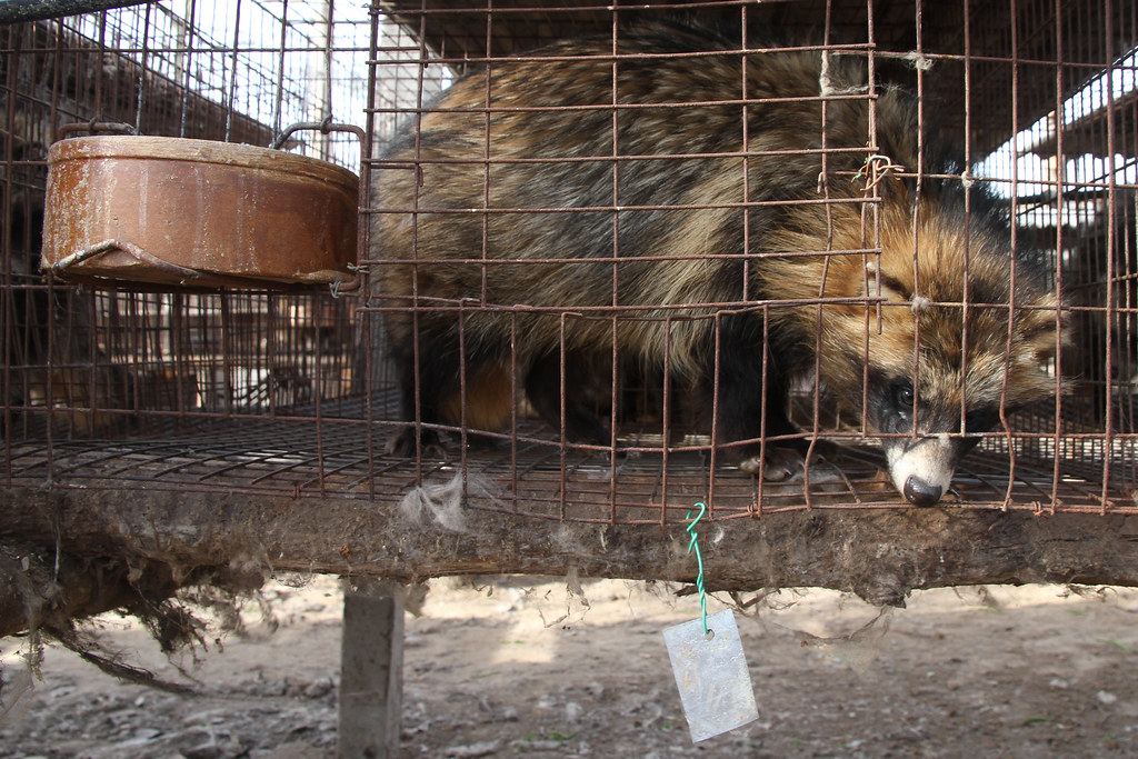 Racoon and Fox Fur   Into the Chinese Fur Trade   HuangKo ...