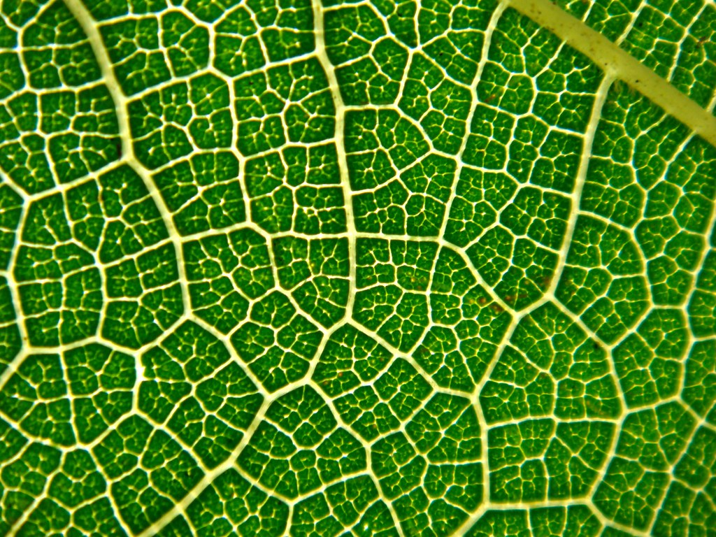 Netted Venation In A Mulberry Leaf Cameliatwu Flickr