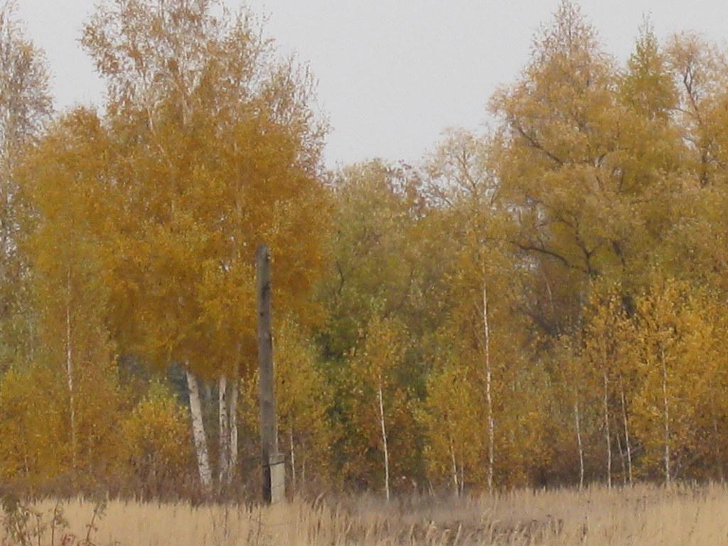 Берёзовая лесополоса